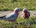 Galahs. Eolophus roseicapilla. - Flickr - gailhampshire.jpg