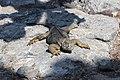 Galapagos land iguana 03.jpg
