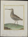 Gallinago undulata - 1700-1880 - Print - Iconographia Zoologica - Special Collections University of Amsterdam - UBA01 IZ17400307.tif