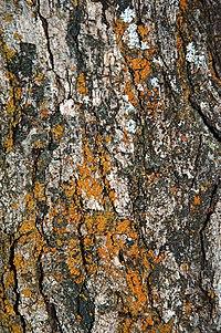 Gambel oak bark