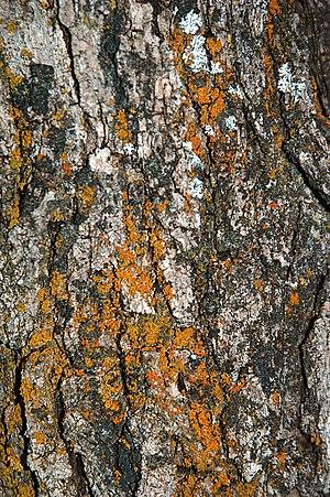Quercus gambelii - Bark on a mature Gambel oak.