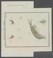 Gammarus fluviatilis - - Print - Iconographia Zoologica - Special Collections University of Amsterdam - UBAINV0274 098 02 0005.tif