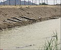 Gando (mugger crocodile) گاندو، تمساح ایرانی - panoramio.jpg