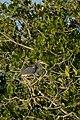Garceta Tricolor, Tricolored Heron, Egretta tricolor (16033317019).jpg