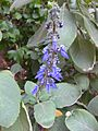 Gardenology.org-IMG 2332 ucla09.jpg
