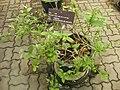 Gardenology.org-IMG 8013 qsbg11mar.jpg