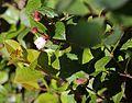Gaultheria adenothrix s3.jpg