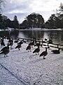 Geese in Snow - geograph.org.uk - 373165.jpg