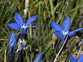 Gentianaceae - Gentiana bavarica.jpg
