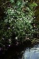 Geranium 'Elworthy Eyecatcher' at Nuthurst West Sussex England.jpg