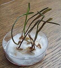 Klíčenie jednoklíčnolistovej rastliny - raž