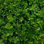 Gewöhnlicher Buchsbaum, Buxus sempervirens.JPG