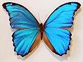 Giant Blue Morpho (Morpho didius) (8364215797).jpg