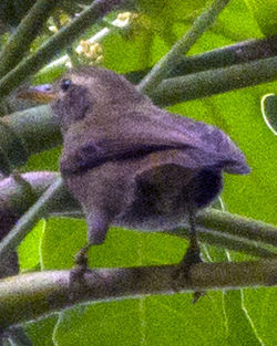 Giant White-eye Palau Greater White-eye Megazosterops palauensis photographed in Palau on 31 May 2013 by Devon Pike.jpg
