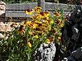 Giardino botanico alpino Viote - Gaillardia aristata2.jpg