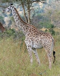 زرافةٌ من النُويعة الماساويَّة في مُنتزه ميكومي الوطني، في تنزانيا