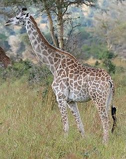 Giraffe Tall African ungulate