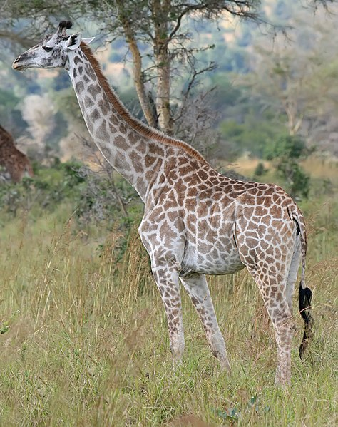 File:Giraffe Mikumi National Park.jpg