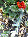 Glaucium corniculatum ssp. Planta 2011-3-31 CampodeCalatrava.jpg