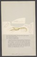 Glaucothoe peronii - - Print - Iconographia Zoologica - Special Collections University of Amsterdam - UBAINV0274 006 02 0030.tif