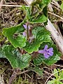 Glechoma hederacea 120812626.jpg