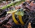 Gliophorus psittacinus (Schaeff.) Herink 565142.jpg