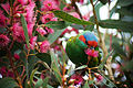 Glossopsitta concinna -blossom -Australia-8.jpg