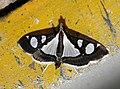 Glyphodes bicolor Crambidae by Dr. Raju Kasambe DSCN0453 (6).jpg