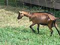 Goats in Slovenia (4757676924).jpg