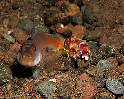 pistol shrimp and goby