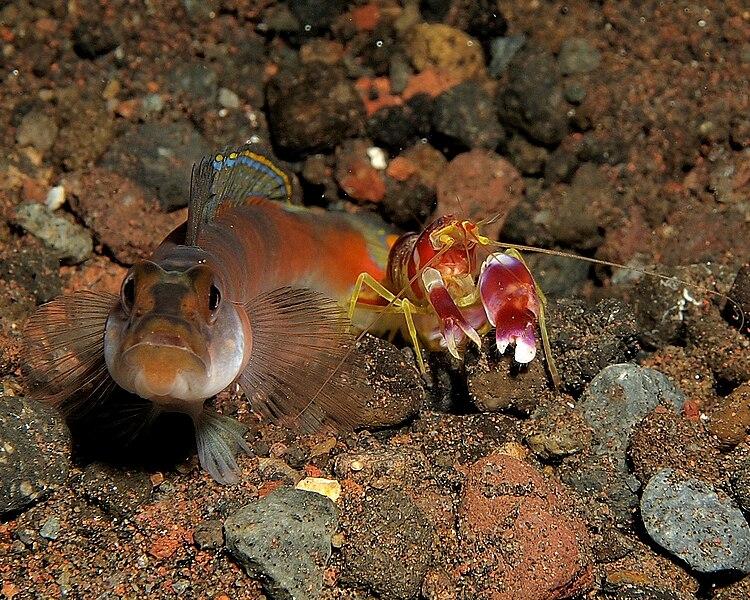 File:Gobi and shrimp.jpg