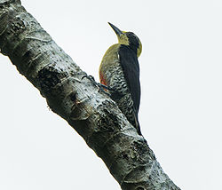 Golden-naped Woodpecker female - Rio Tigre - Costa Rica.jpg