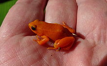 Golden Mantella Frog 1.JPG