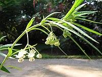 Gomphocarpus physocarpus 1