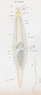 <i>Microcotyle sebastis</i> Species of worms