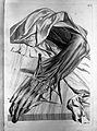 Govard Bidloo, Ontleding des menschelyken lichaams... Wellcome L0025649.jpg
