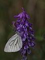 Grünader-Weißling (Pieridae- Pieris napi) (7148284027).jpg