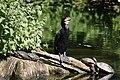 Grand Cormoran au Zoo de Lille.jpg