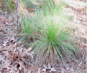 Pinus palustris - Longleaf pine: 'grass stage' seedling, near Georgetown, South Carolina