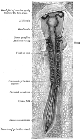 "A chicken embryo, showing the paraxial mesoderm on both sides of the neural fold. The anterior (forward) portion has begun to form somites (labeled ""primitive segments""). Gray18.png"