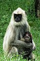 Gray langur with baby.jpg