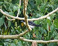 Great Antshrike Taraba major (40982213290).jpg