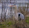 Great Blue Heron at Lake Woodruff - Flickr - Andrea Westmoreland (9).jpg