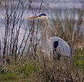 Great Blue Heron at Lake Woodruff - Flickr - Andrea Westmoreland (9).jpg