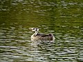 Great Crested Grebe Chick.jpg
