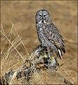 Great Gray Owl - MGL0201.jpg