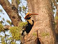 Great Hornbill Male.jpg