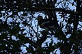 Great Hornbills from Anamalai Tiger Reserve JEG1731.JPG