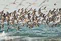 Great Knot 23 - Lee Point.jpg