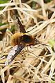 Greater Bee Fly - Bombylius major, Merrimac Farm Wildlife Management Area, Aden, Virginia - 8642704406.jpg